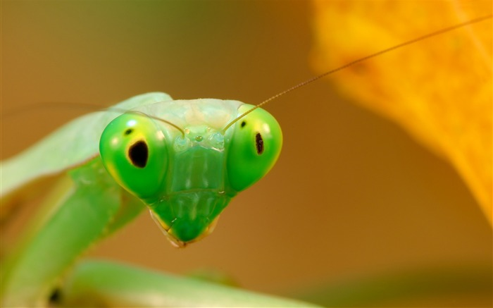 Insects Mantis-High Quality Wallpaper Views:1594