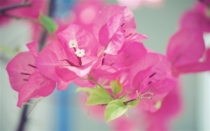 Japan Cute bougainvillea-Macro photo HD Wallpaper Views:1779