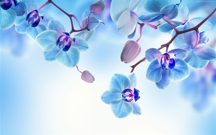 Orchid flowers blue-High Quality HD Wallpaper Views:3024