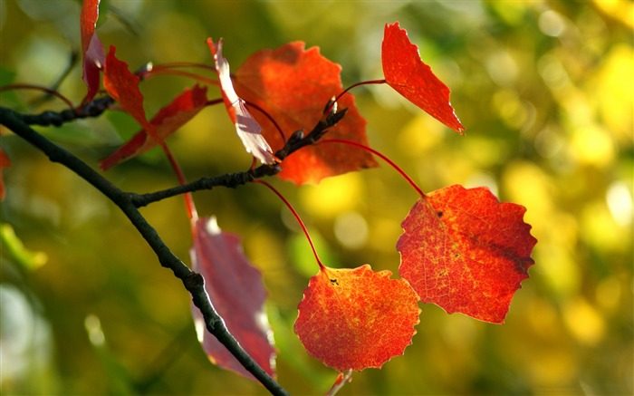 Title:Red autumn leaves sunshine-Macro photo HD Wallpaper Views:1076