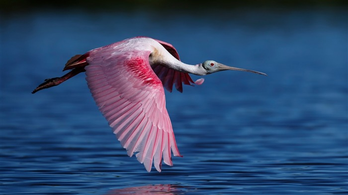 Roseate spoonbill flying water-High Quality Wallpaper Views:1269