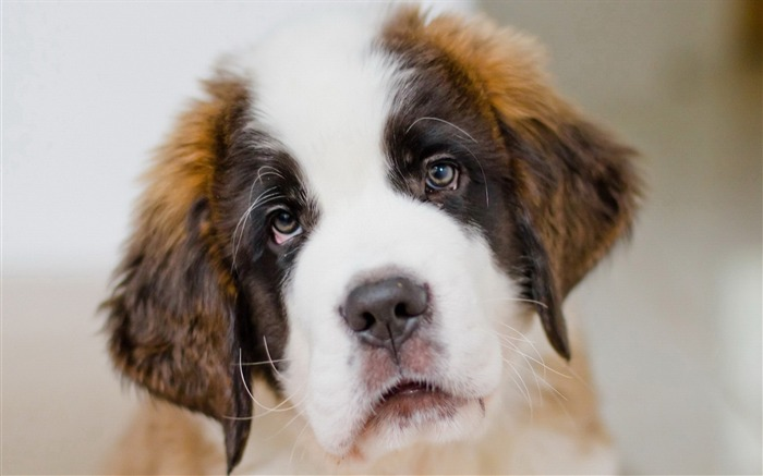 Saint bernard dog puppy-High Quality HD Wallpaper Views:1617