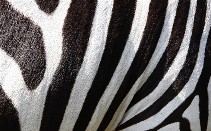 Zebra wool color lines-High Quality HD Wallpaper Views:908