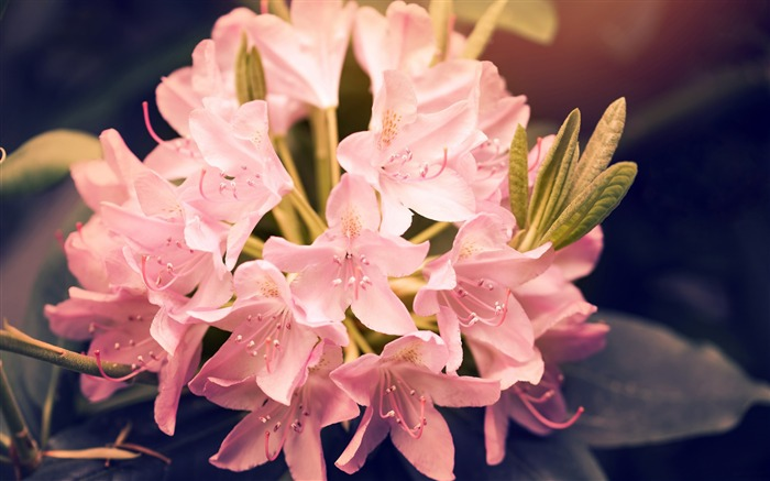 Beautiful pink rhododendron flowers-Spring Nature HD Wallpaper Views:1890
