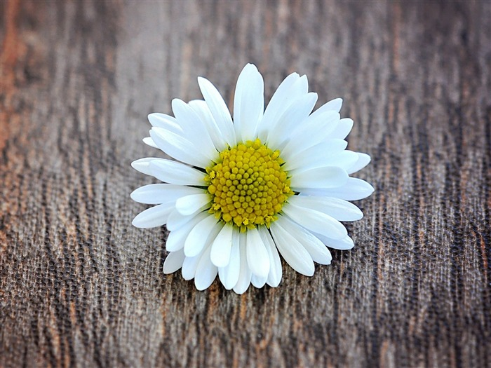 Flower White Wood Daisy Blossom-Spring Nature HD Wallpaper Views:1613