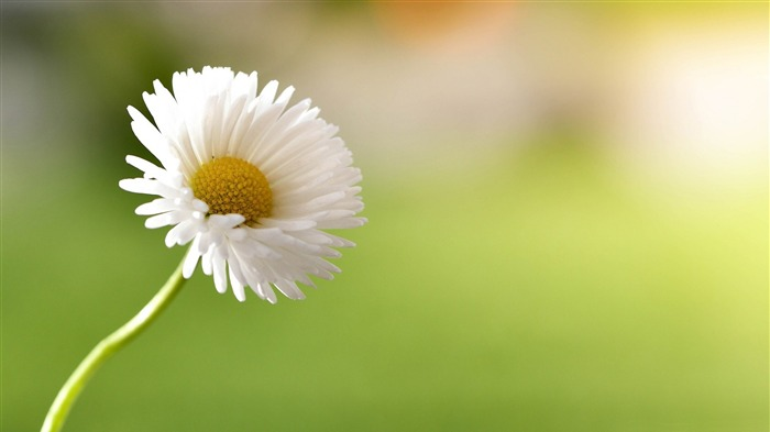 Flower Yellow White Daisy-Spring Nature HD Wallpaper Views:1623