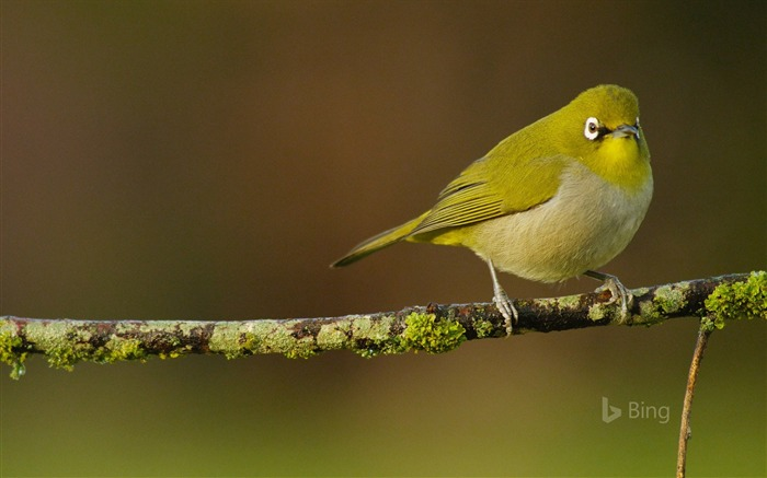 A Cape white eye perched-2016 Bing Desktop Wallpaper Views:1836