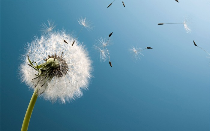 Blown dandelion macro-Widescreen High Quality Wallpaper Views:1240