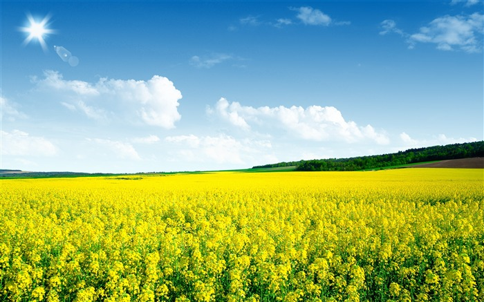 Canola flower field-Nature Scenery HD Wallpaper Views:2513