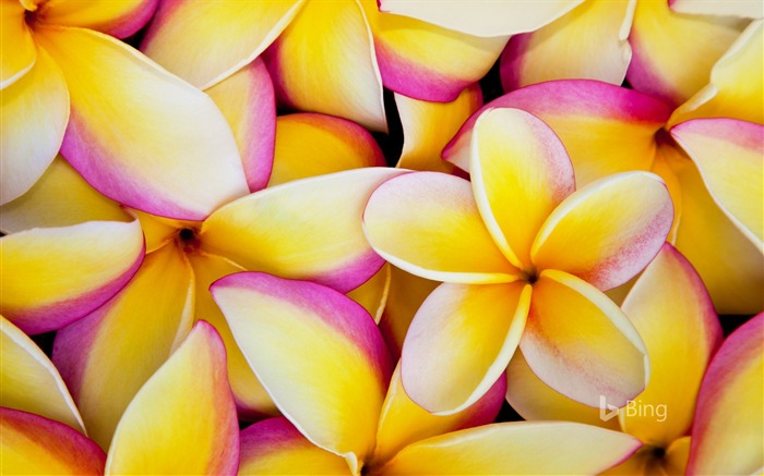 Plumeria flowers in Hawaii-2016 Bing Desktop Wallpaper Views:1542