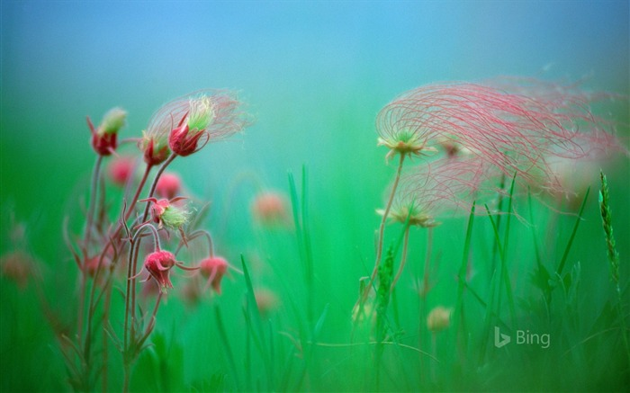 Prairie smoke blossoms-2016 Bing Desktop Wallpaper Views:1681