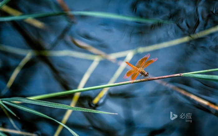 Summer bamboo dragonfly on-2016 Bing Desktop Wallpapers Views:589