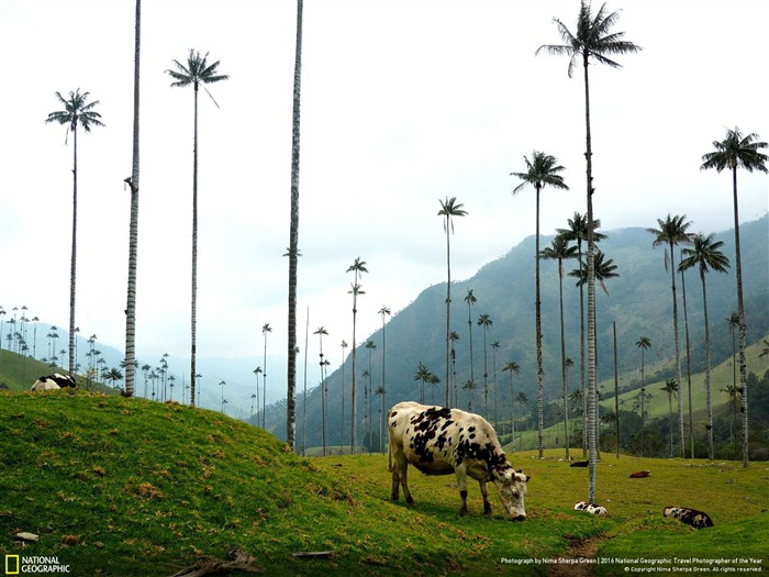 Cows In Colombia-2016 National Geographic Wallpaper Views:2831