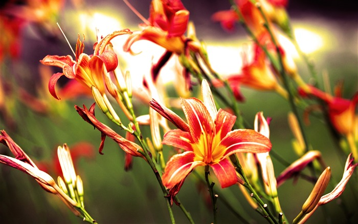 Lilies flowers bright red-Flowers Photo HD Wallpaper Views:1893