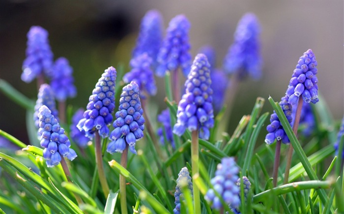 Muscari flowers leaves spring-Flowers Photo HD Wallpaper Views:875