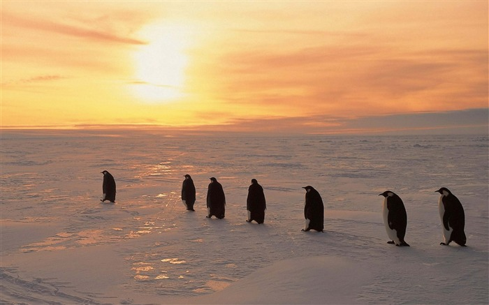Penguins sunrise winter ice snow-High Quality HD Wallpaper Views:1438