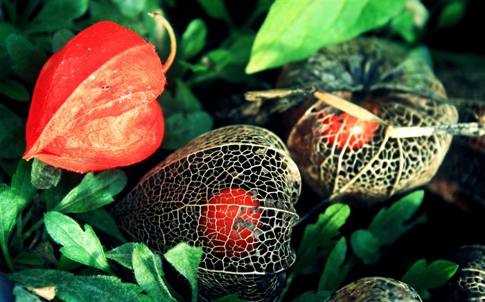 Physalis flowers green grid-Flowers Photo HD Wallpaper Views:543