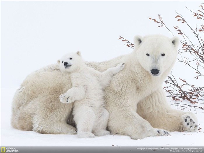 Polar bear baby-2016 National Geographic Wallpaper Views:4380
