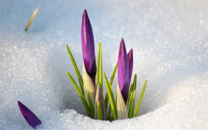 Snowdrops snow spring flowers-Flowers Photo HD Wallpaper Views:1075