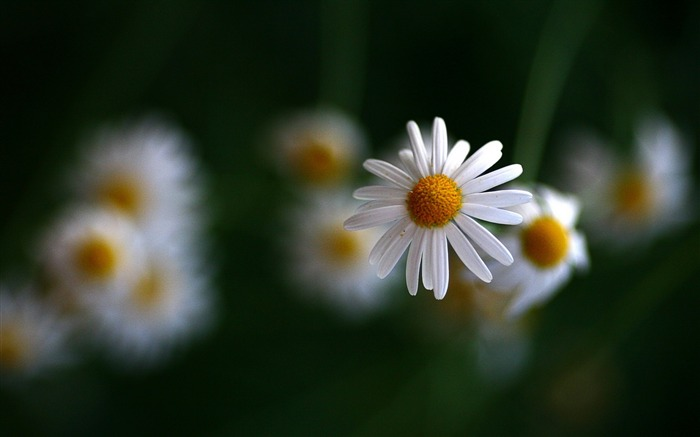 White chamomile blurring-Flowers Photo HD Wallpaper Views:1075