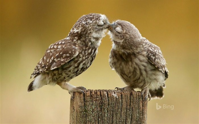 Burrowing owl chicks-2016 Bing Desktop Wallpaper Views:1051