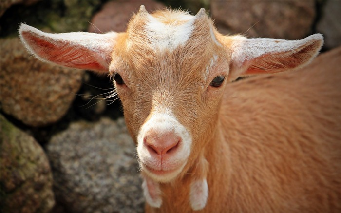 Goat face young-2016 High Quality Wallpaper Views:1378