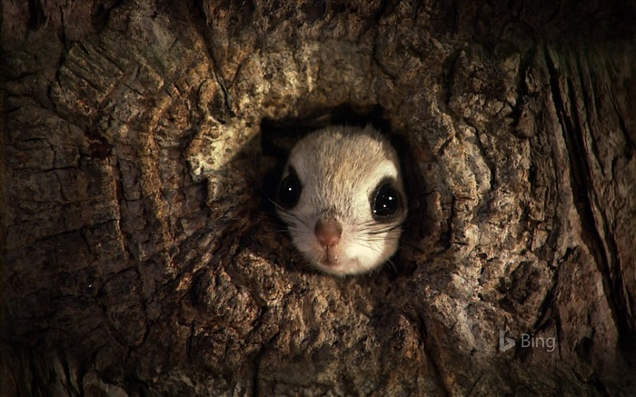 Japanese dwarf flying squirrel-2016 Bing Desktop Wallpaper Views:1321
