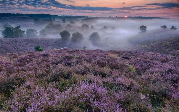 Netherlands Flowering heather-2016 Bing Desktop Wallpaper Views:1117