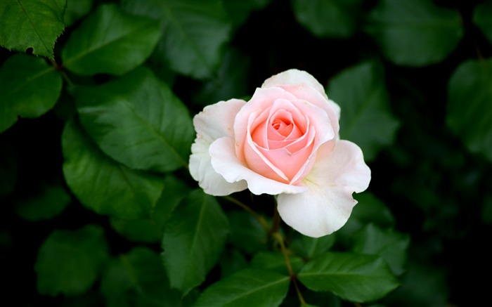 Rose bud pink bush-2016 High Quality Wallpaper Views:1665