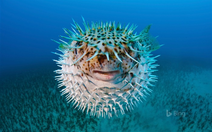 Spot-fin porcupinefish near Hawaii-2016 Bing Desktop Wallpaper Views:1039