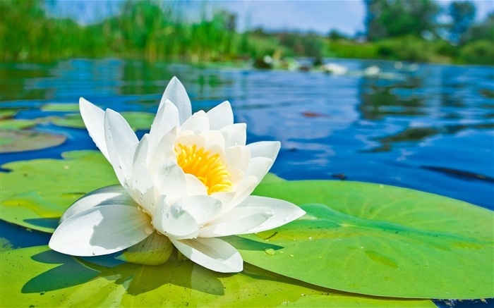 Summer Blooming Lotus Photo Theme Wallpaper Views:11329