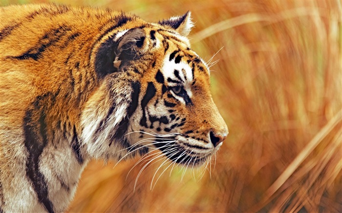 Bengal tiger predator macro-Animal Photos HD Wallpaper Views:1568