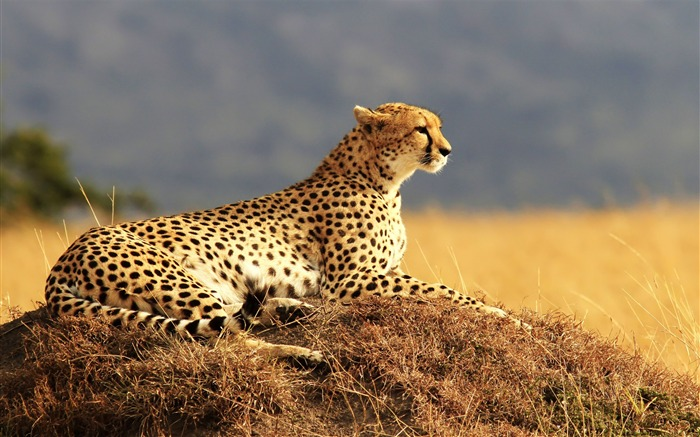 Cheetah Resting Waiting-Classic High Quality Wallpaper Views:1124