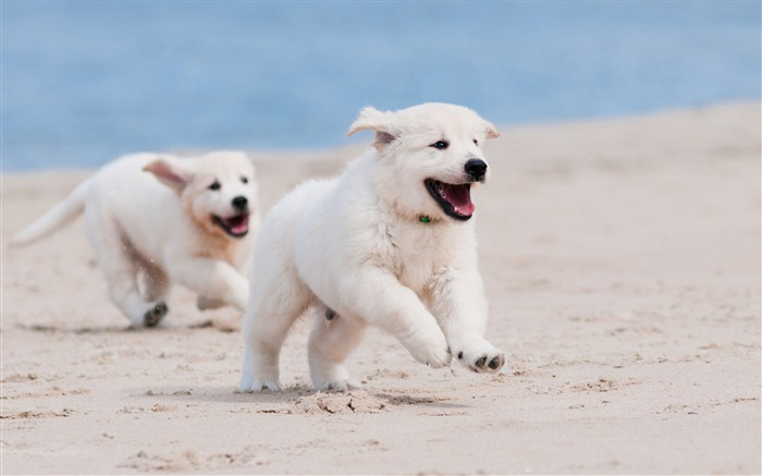 Dog puppy white pet-Animal Photos HD Wallpaper Views:3520