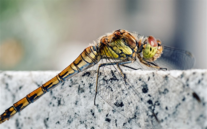 Dragonfly macro insects-Animal Photos HD Wallpaper Views:1165