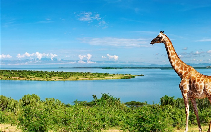 Giraffe at nile river-Animal Photos HD Wallpaper Views:1494