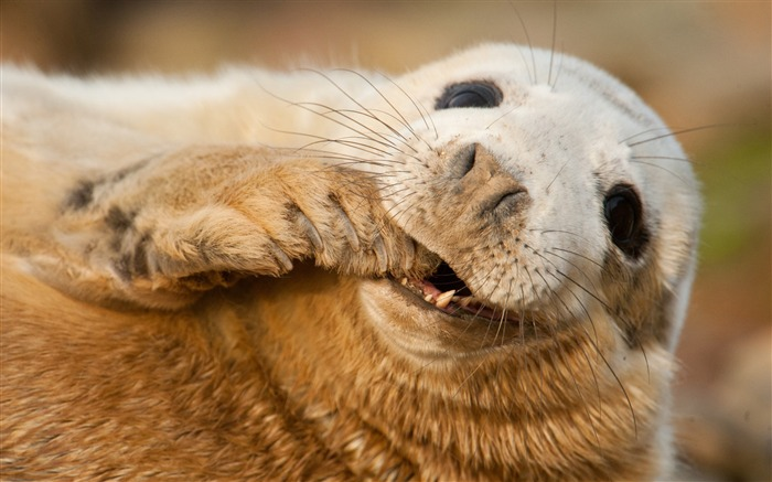 Grey seal scotland sable-Animal Photos HD Wallpaper Views:1620