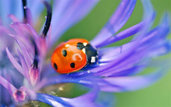 Ladybug on a flower-Animal Photos HD Wallpaper Views:1424