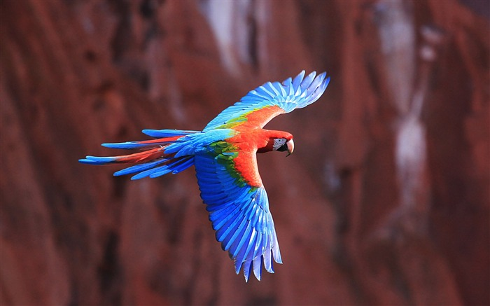Macaw parrot flying-Animal Photos HD Wallpaper Views:1689