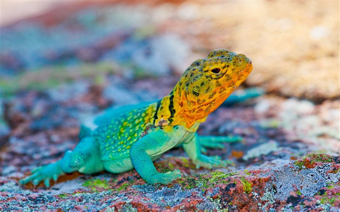Mexico lizard colorful stone-Animal Photos HD Wallpaper Views:1495