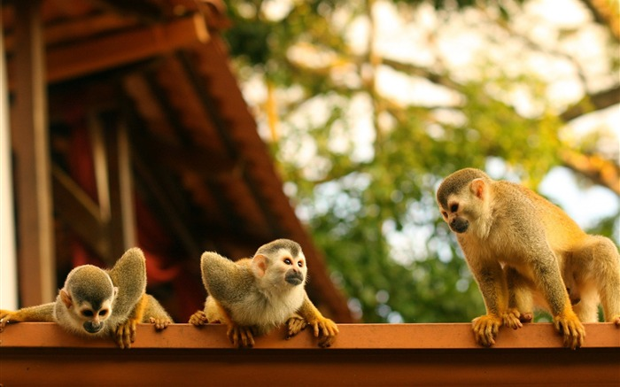 Monkeys atelidae costa rica-Animal Photos HD Wallpaper Views:1959