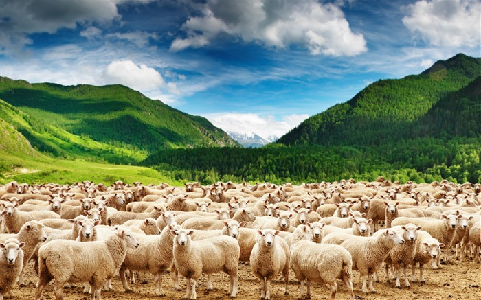 Mountains herd of sheep-Animal Photos HD Wallpaper Views:7433