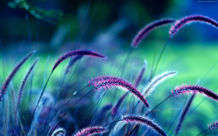 Purple Grass-2016 High Quality Wallpaper Views:1697