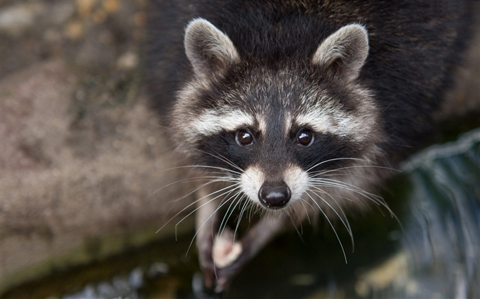 Raccoon eyes close-up-Animal Photos HD Wallpaper Views:1038