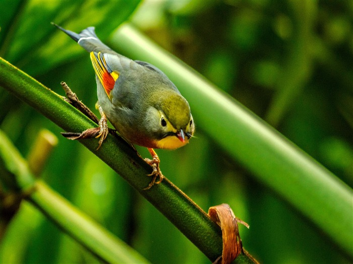 Silver eared Leiothrix cute bird themed wallpaper Views:4193