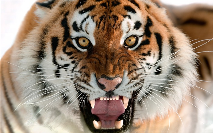 Tiger roar close-up-2016 High Quality Wallpaper Views:601