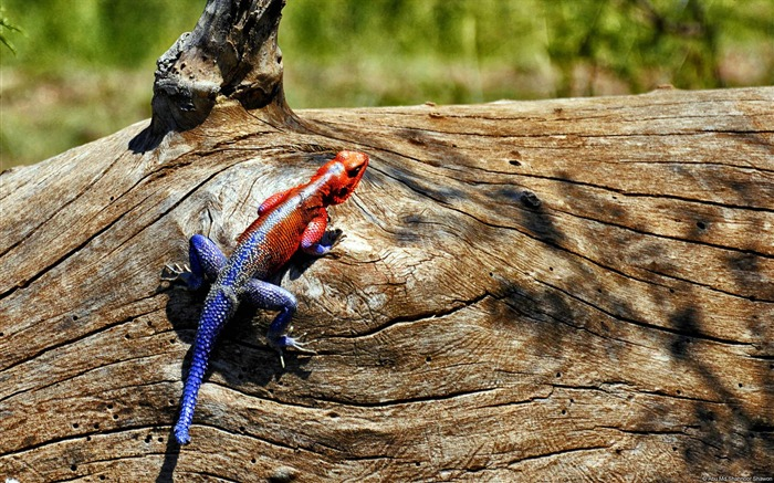 Abu md shahnoor shawon rainbow lizard-Animal High Quality Wallpaper Views:1335