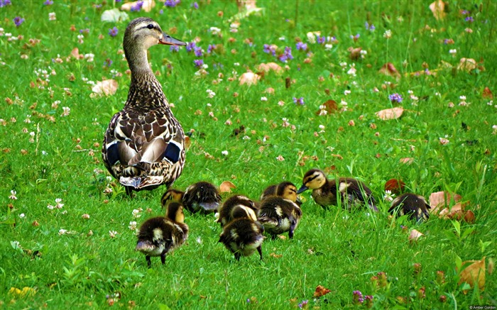 Amber gordon duck newborns-Animal High Quality Wallpaper Views:1419