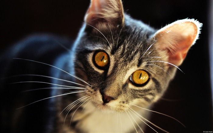 Carly Kaste Cat Eyes-Animal High Quality Wallpaper Views:1781