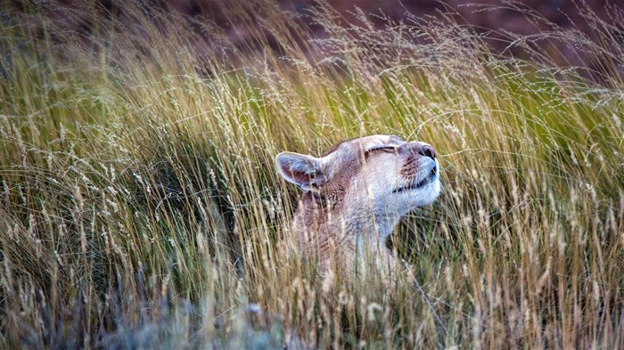 Chile A puma in Torres del Paine National Park-2016 Bing Desktop Wallpaper Views:725